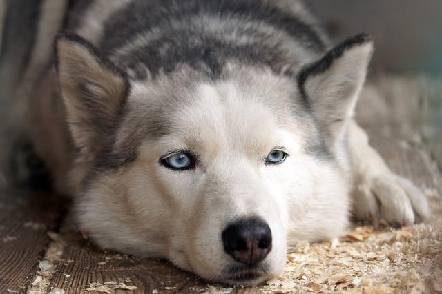 Tout sur le Husky Sibérien, un chien exceptionnel amical